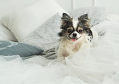 Longhair Chihuahua Dog on Light Textile Decorative Coat and Pillows for a Modern Bed in House or Hotel. Horizontal, close up, selective focus, copy space.