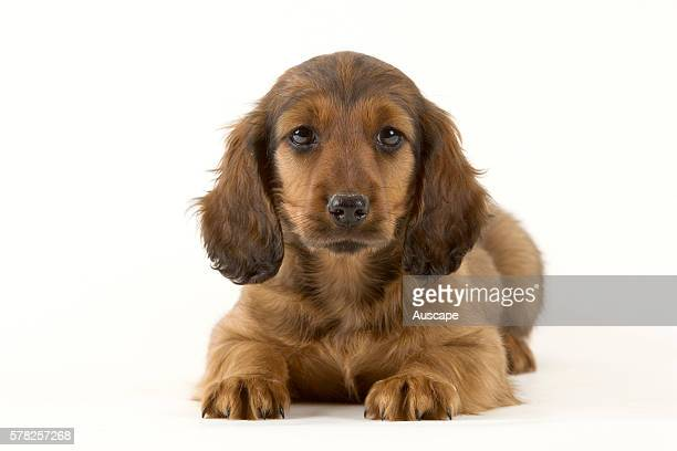 Longhaired dachshund Canis familiaris puppy lying down looking at photographer studio shot