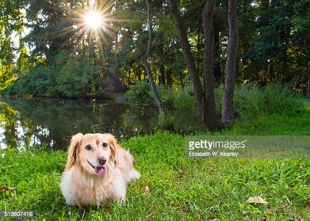 Longhaired dachshund near lake