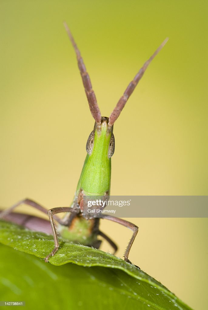 Longheaded toothpick grasshopper : Stock Photo