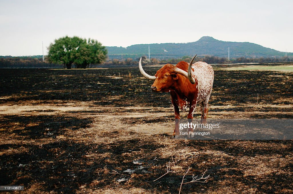 A longhorn bull stands in a burned out pasture April 24, 2011 near Graford, Texas. Cooler tempratures and high humidity has helped firefighters contain the PK Complex Fire that has destroyed more than 160 homes in the area.