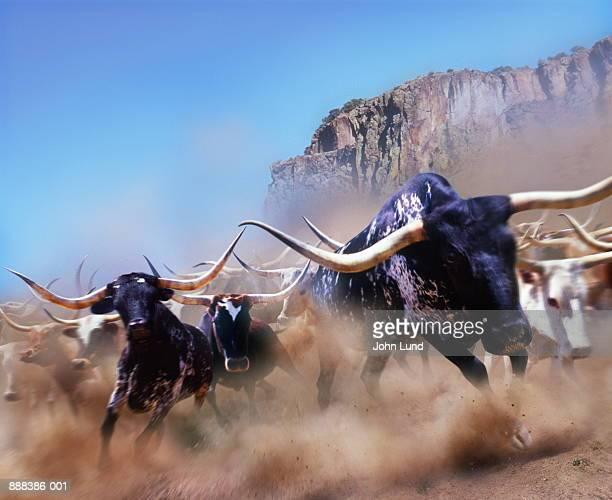 Longhorn cattle running, California, USA (Digital Composite)