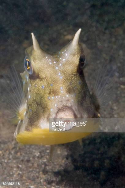 longhorn cowfish front viow