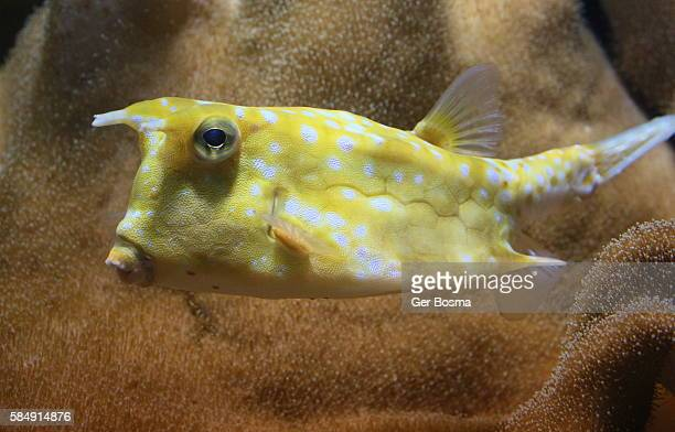 longhorn cowfish lactoria cornuta sword fish coloring page