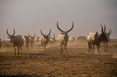 Longhorn cows in South Sudan