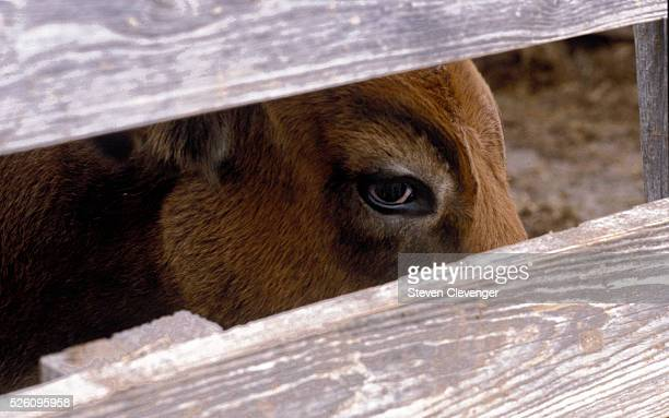 A longhorn steer eyes passing stockmen before an auction at the Fort Worth Stockyards in Fort Worth Texas The historic stockyards were an important...