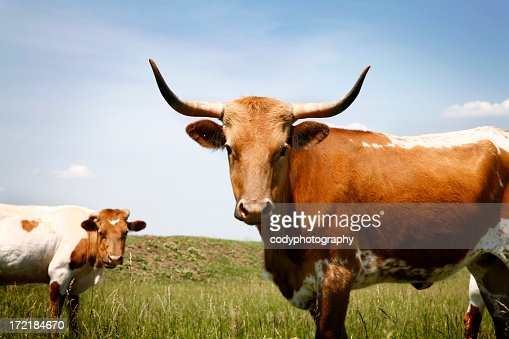 Longhorn steer in grassy field under blue sky