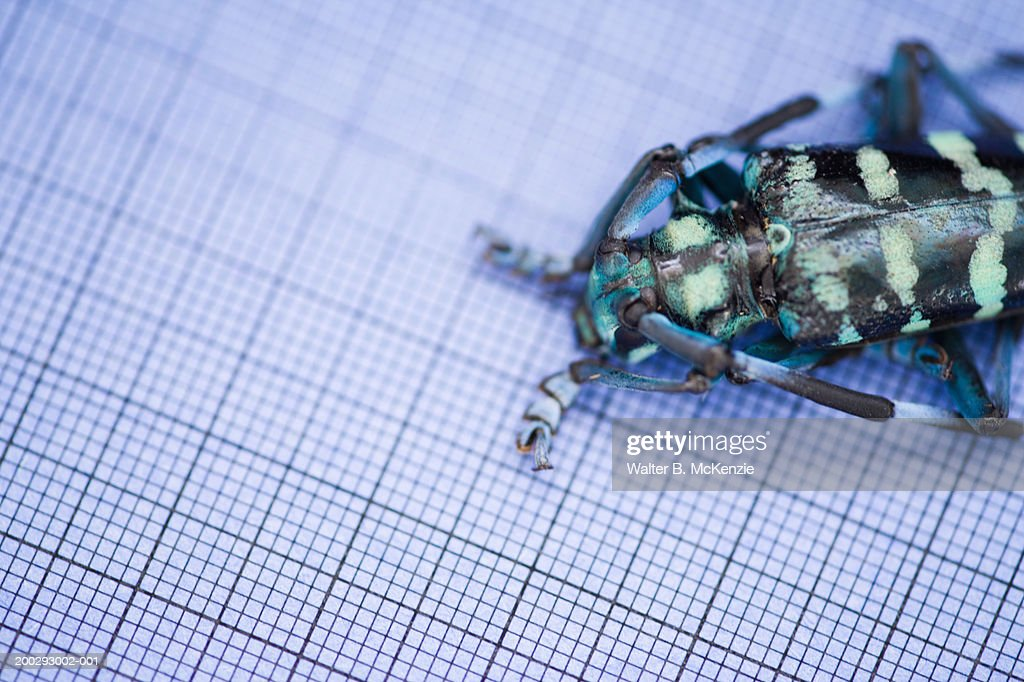 Longhorned beetle (Anoplophora sp.) on graph paper : Stock Photo