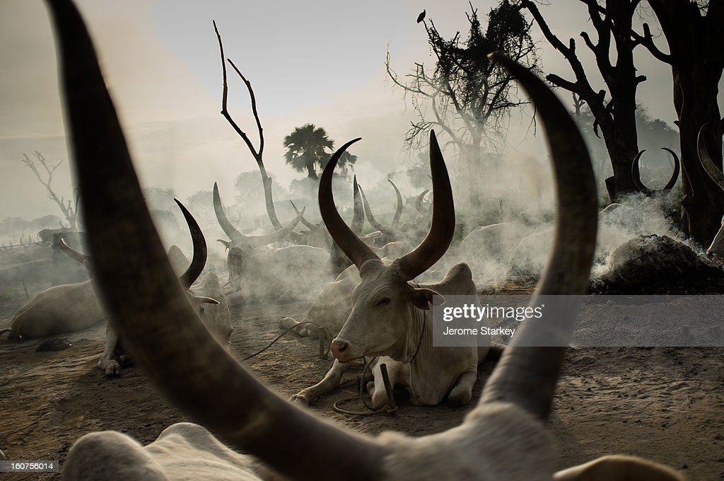 CONTENT] Long-horned cattle, at a temporary Dinka settlement near Rumbek, in South Sudan. Under customary law, cattle are used like currency to purchase wives or pay compensation and settle disputes. Elders and local officials said the standard fine for adultery is seven cows, to be paid by offending male. The herdsmen and their families burn piles of dried cow dung to ward off flies, and the cover themselves and their animals in ashes from the fires. They survive on a diet of milk mixed with cows' urine, which acts like a preservative.