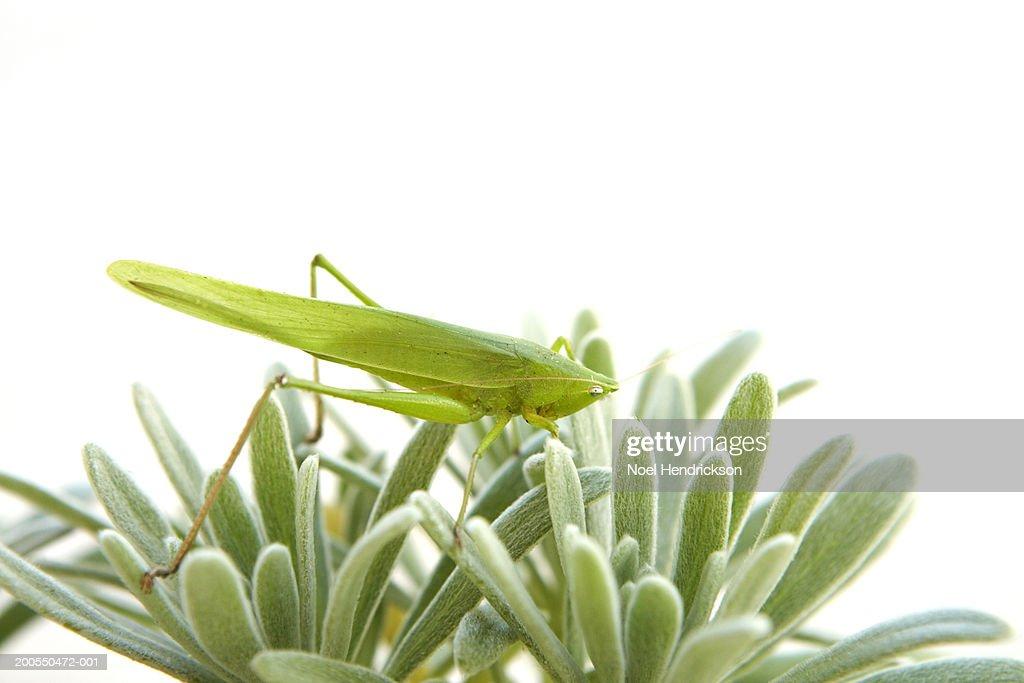 Long-horned grasshopper atop plant : Stock Photo