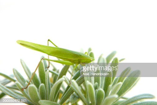 Long-horned grasshopper atop plant : Stock Photo