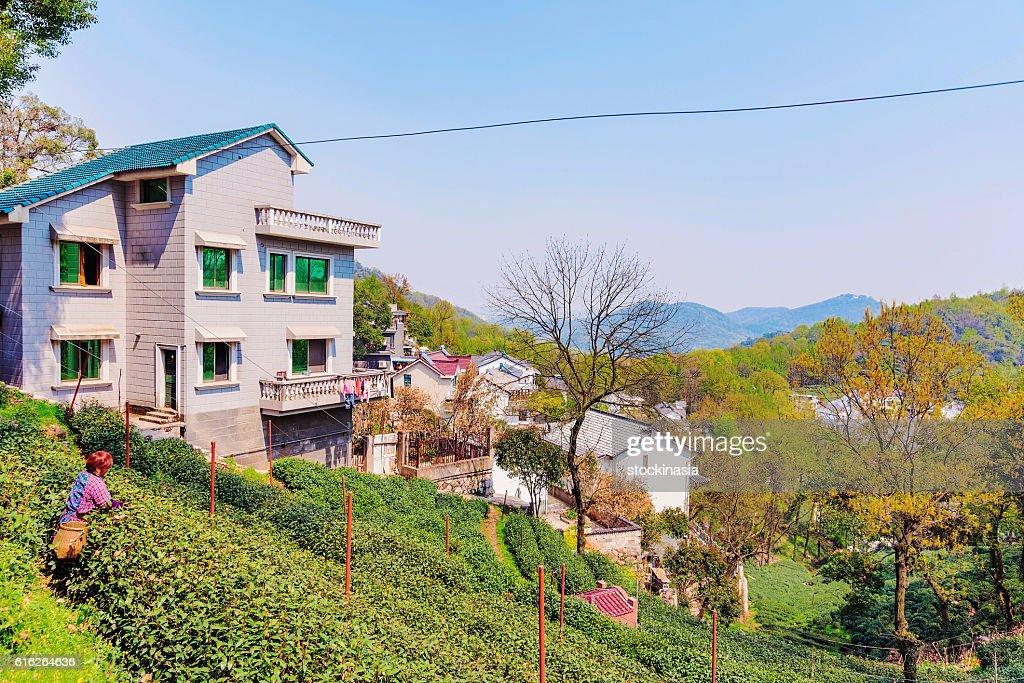 Longjing tea fields : Stock Photo