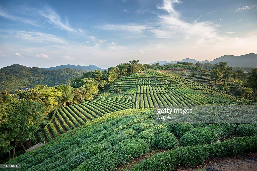 Longjing tea fields with sky