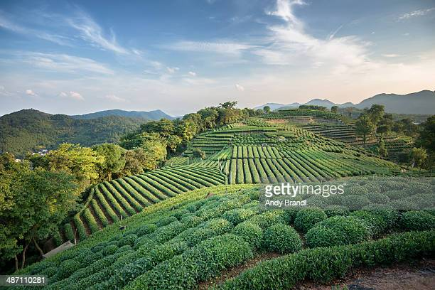 Longjing tea fields with sky