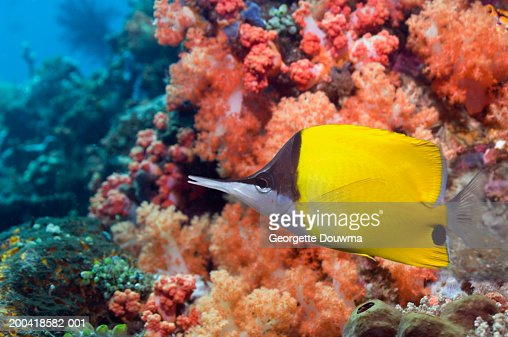 Long-nosed butterflyfish (Chaetodon flavissimus) (Digital Composite)