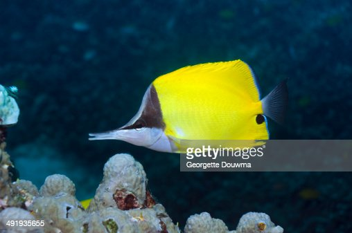 Long-nosed butterflyfish