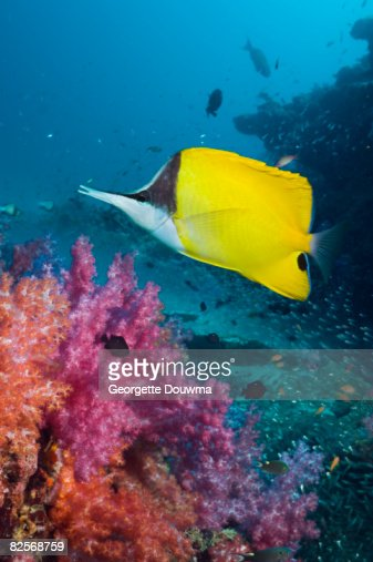 Long-nosed butterflyfish with soft corals