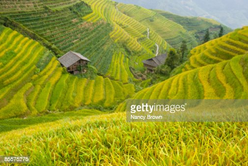 Longsheng Rice Terraces in the Fall near Guilin Ch