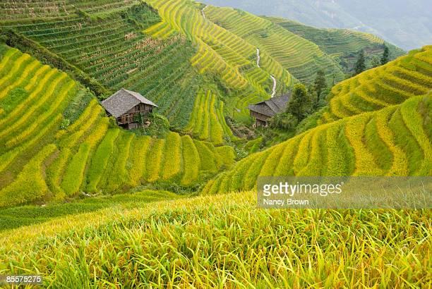 Longsheng Rice Terraces in the Fall near Guilin Ch