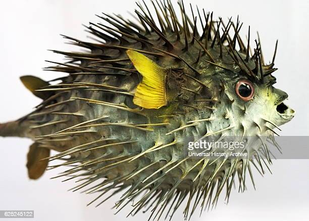 Longspine porcupinefish a species of marine fish in the family of Diodontidae Dated 21st Century