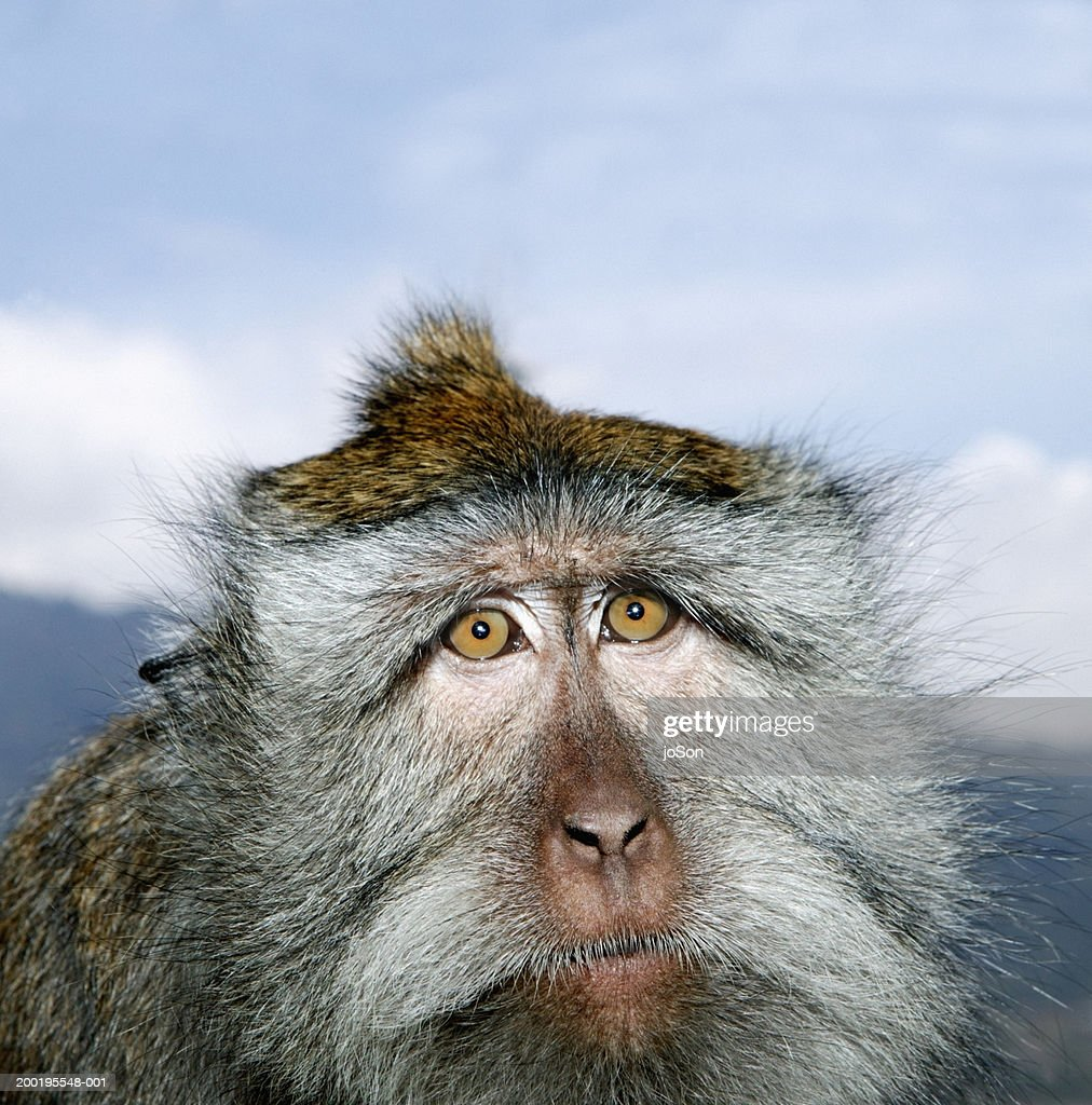 Long-tailed macaque (Mascaca fascicularis), close-up : Stock Photo