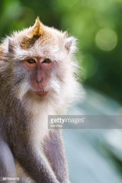 Longtailed macaque Monkey forest Ubud Bali Indonesia Asia