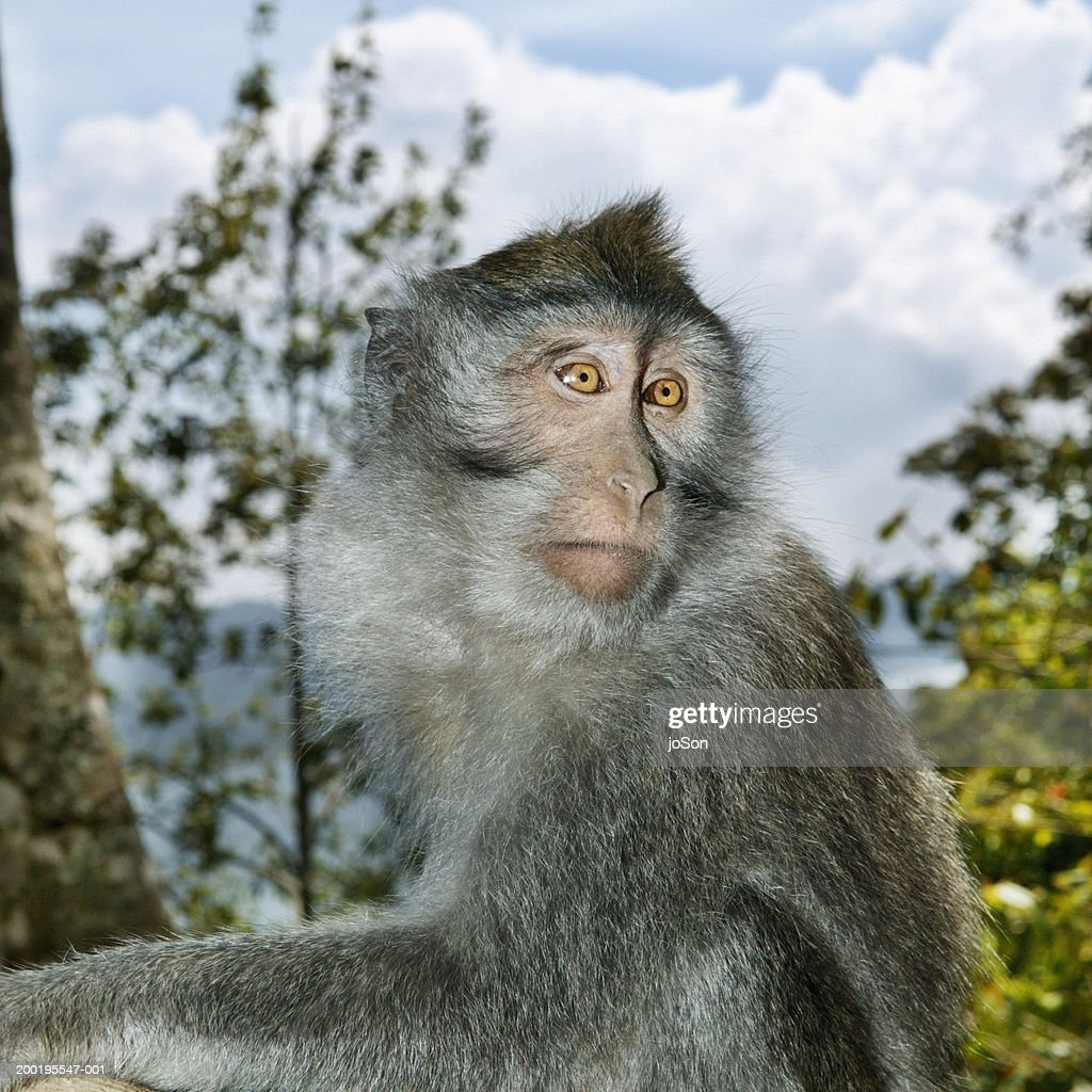 Long-tailed macaque (Mascaca fascicularis) : Stock Photo