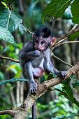 long-tailed macaque (Macaca fascicularis),