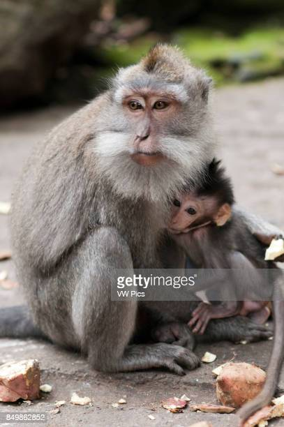Longtailed macaques female breastfeeding the baby in Sacred Monkey Forest Ubud Indonesia Monkey at Dalem Agung Padangtegal temple in Sacred Monkey...