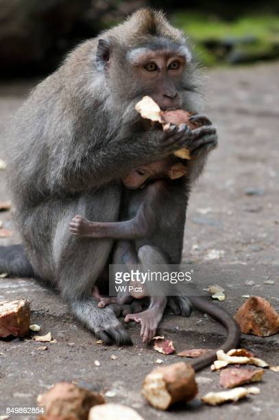 Longtailed macaques in Sacred Monkey Forest Ubud Indonesia Monkey at Dalem Agung Padangtegal temple in Sacred Monkey Forest Ubud Bali Indonesia One...