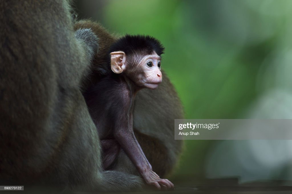 Long-tailed or crab-eating macaque baby aged 2-4 weeks peering out from behind its mother