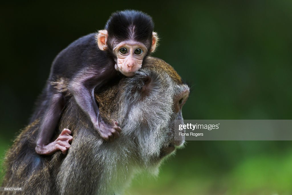 Long-tailed or crab-eating macaque baby aged 2-4 weeks playing on the back of its mother