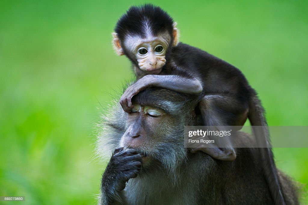 Long-tailed or crab-eating macaque baby aged 2-4 weeks standing on its mother's head