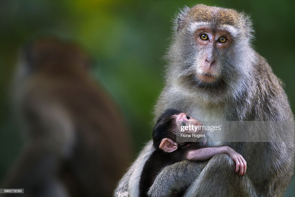 Long-tailed or crab-eating macaque baby aged 2-4 weeks suckling from its mother