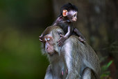 Long-tailed or crab-eating macaque baby
