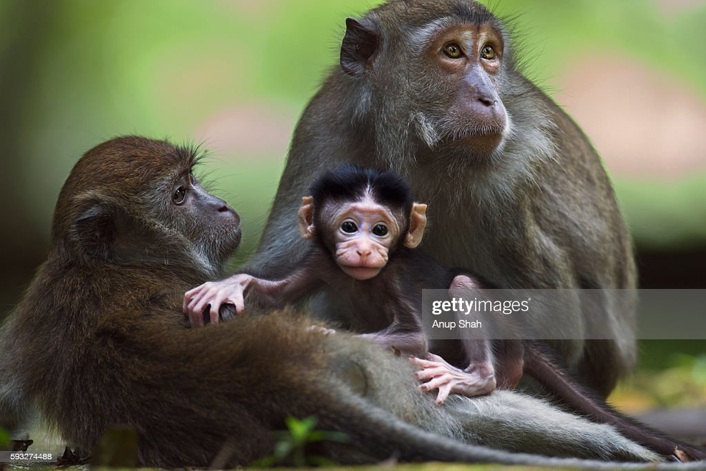 Long-tailed or crab-eating macaque baby playing with a juvenile while it is being groomed