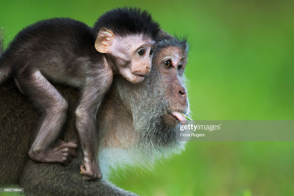 Long-tailed or crab-eating macaque female baby aged 2-4 weeks sitting on its mother's back