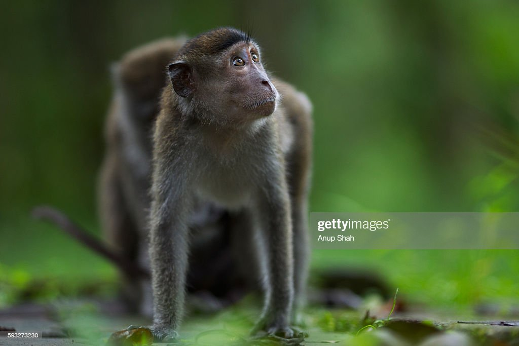 Long-tailed or crab-eating macaque juvenile aged 18-24 months being groomed