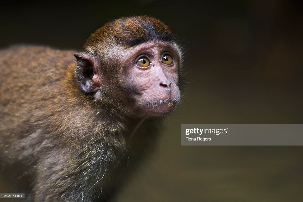 Long-tailed or crab-eating macaque juvenile aged 18-24 months feeding - portrait