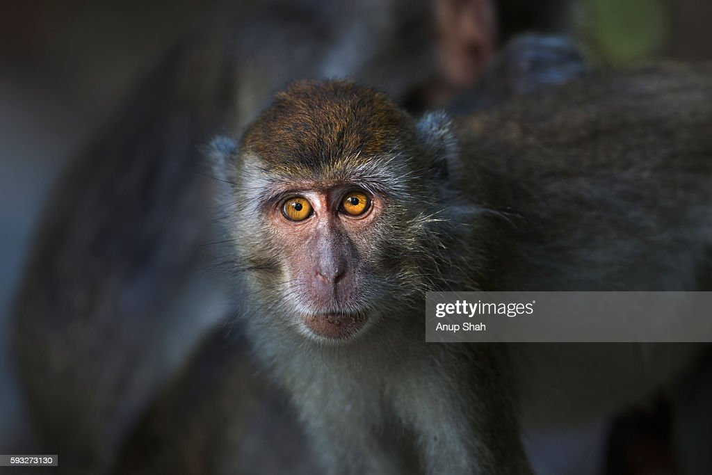 Long-tailed or crab-eating macaque juvenile aged 9-12 months portrait