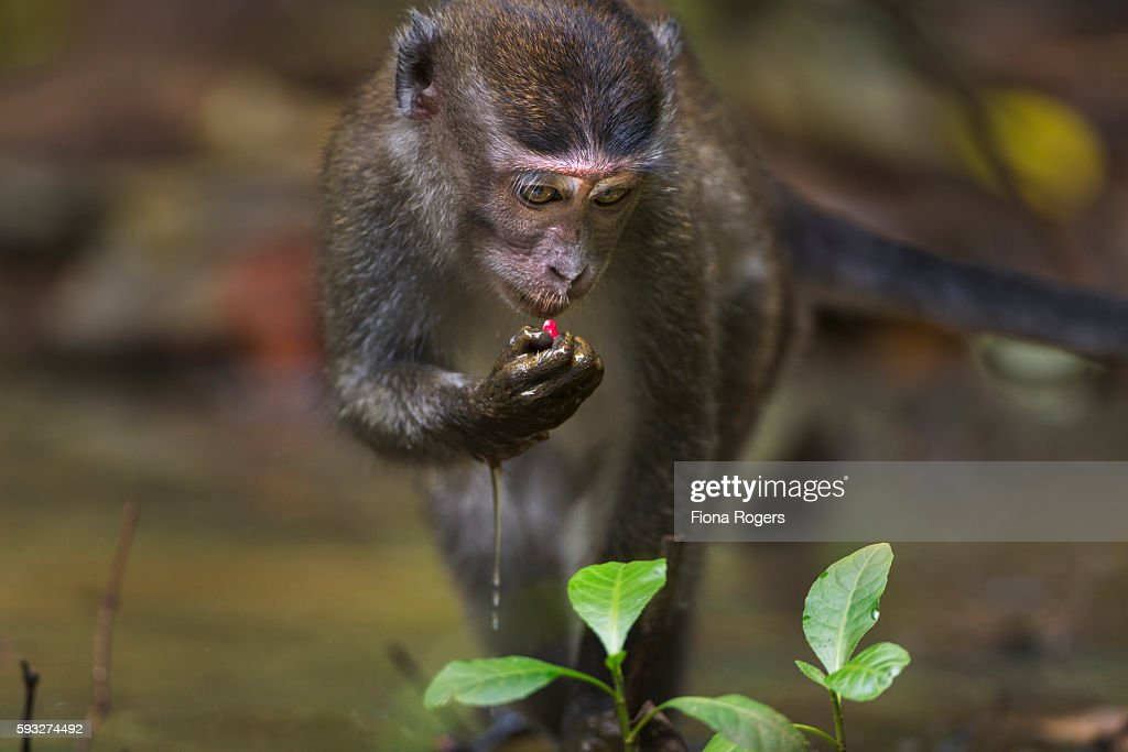 Long-tailed or crab-eating macaque juvenile feeding on seeds from a plant submerged in water