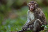 Long-tailed or crab-eating macaque juvenile