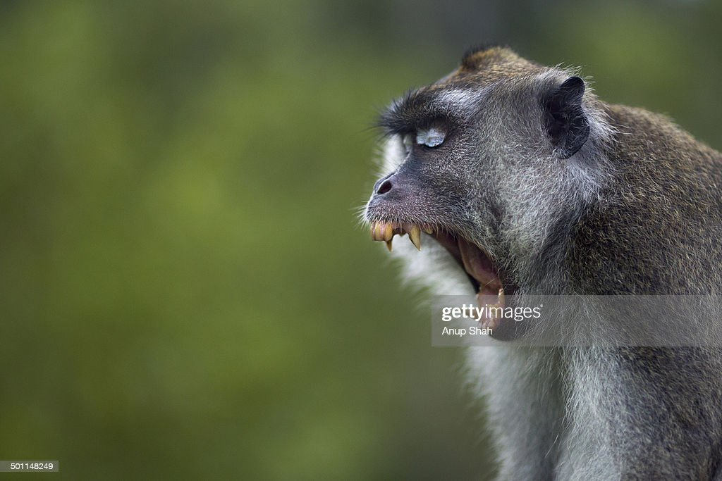 Long-tailed or crab-eating macaque male yawning
