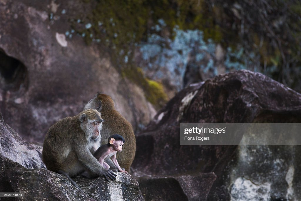 Long-tailed or crab-eating macaques sitting on eroded sandstone cliffs