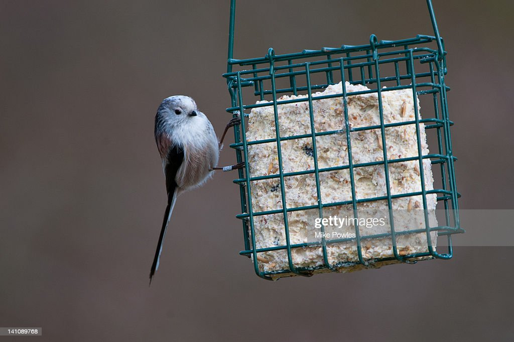 Long-tailed Tit on fat feeder Norfolk
