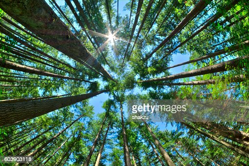 Look up in a dense pine forest : Stock Photo