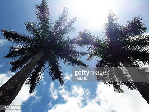 Looking At Tall Palm Trees Against Blue Sky : Stockfoto