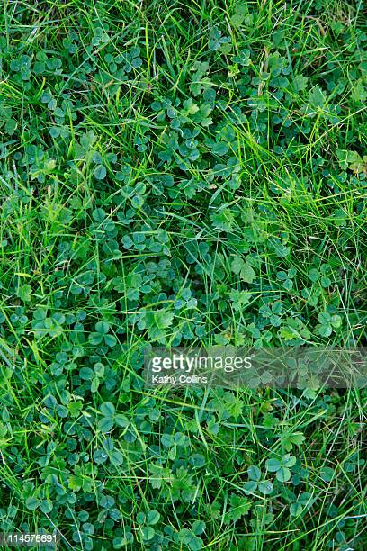 Looking down on clover amongst grass