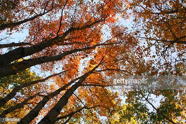 Looking skyward through tall autumn trees