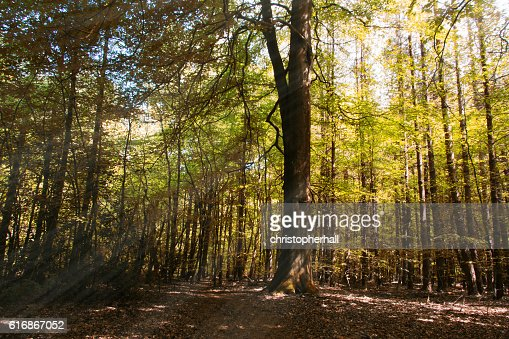 Looking through the trees in an English wood : Stock Photo